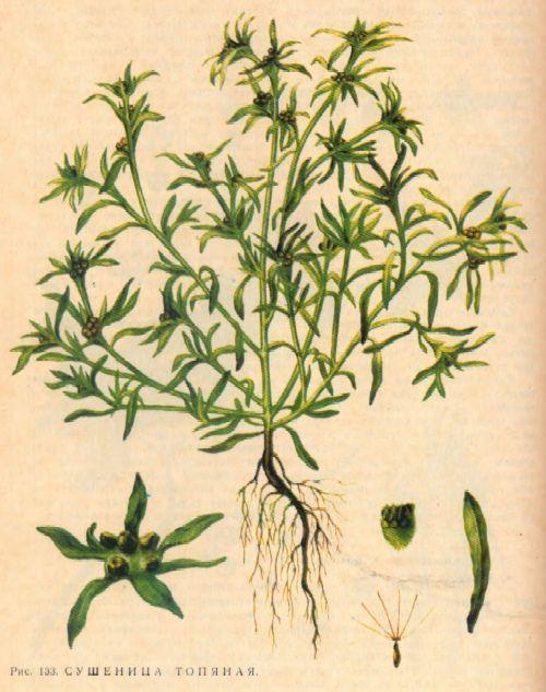 Сухоцвіт болотна - болотна