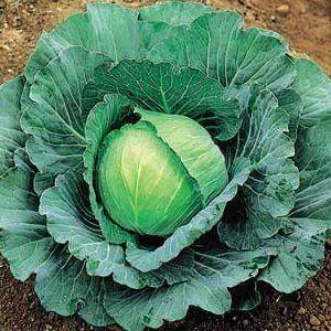 Чим корисний сік білокачанної капусти