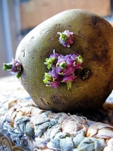 Фітокосметика - картопля