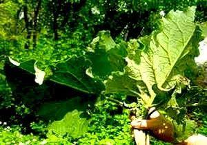 листя лопуха